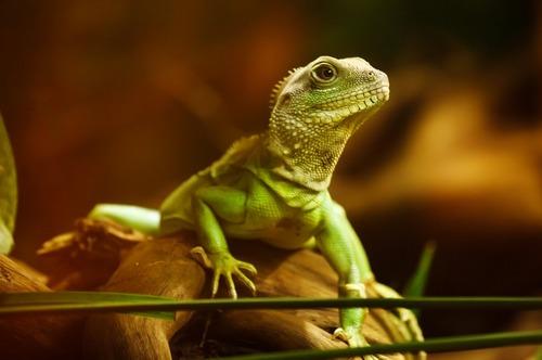 lizard-22258_960_720.jpg
